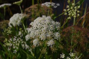 Picture of Flowering Greater Water Parsnip