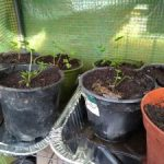 Picture of greater water parsnip seedlings